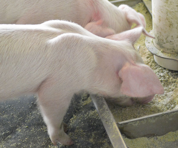 3E weaned pig eating