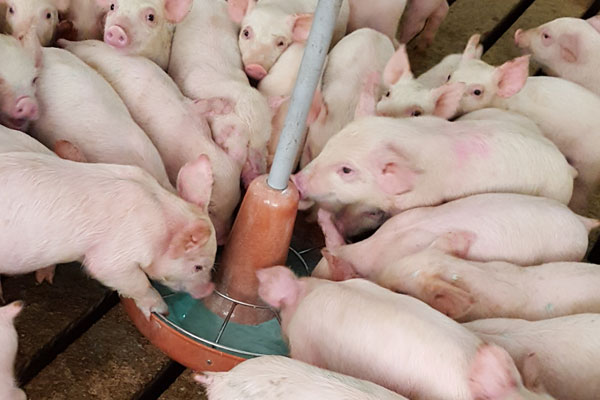Baby Pig Restart for pigs