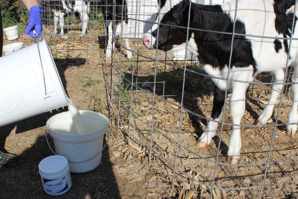 Calf PreRD calf drinking
