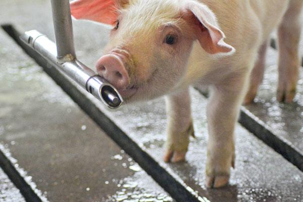 BlueLite Pro2Lyte pig drinking