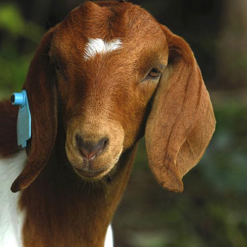 Goat BlueLite for goats