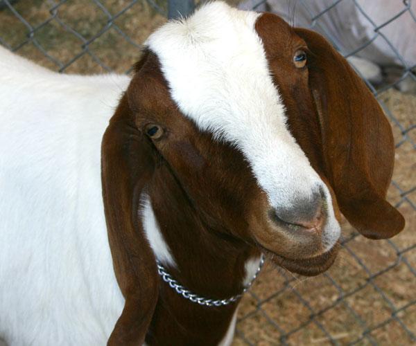 Goat YMCP photo