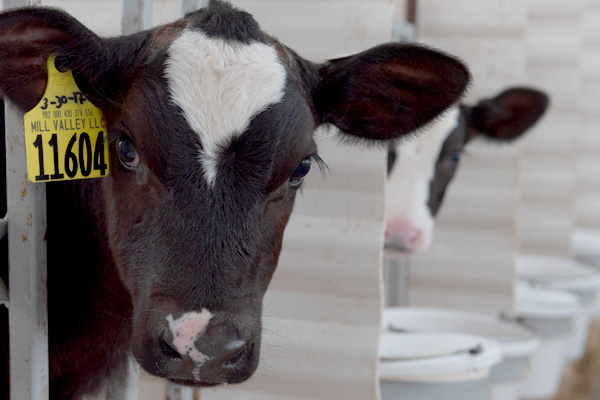 Non pharma solutions for calves