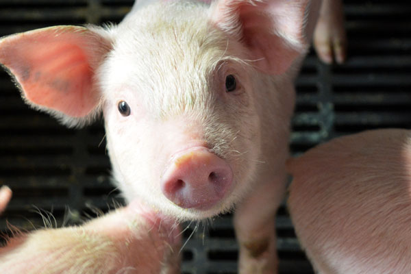Baby Pig restart for young pigs