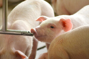 Blue2 for weaned pigs