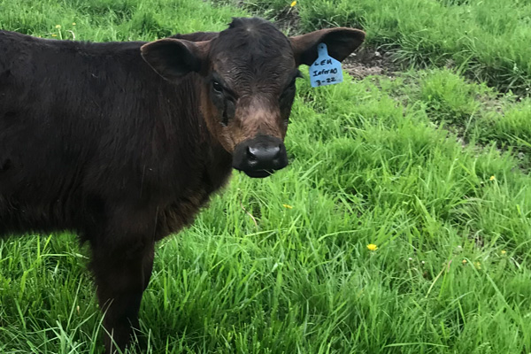 Calf Restart One-4 for beef calves