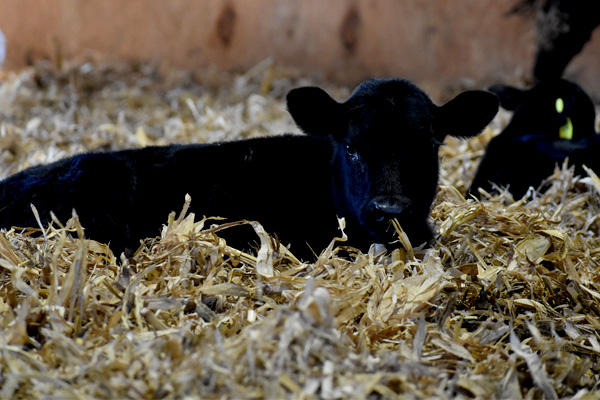 BlueLite C for beef calves