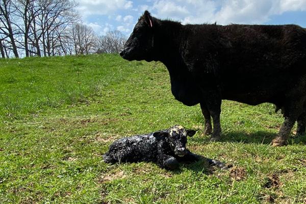 Calf Perk for beef calves