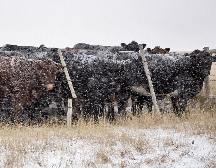 beef cattle in winter