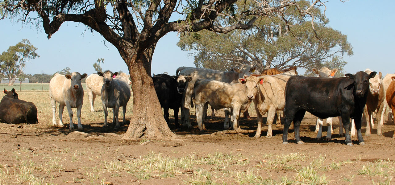 Beef Cattle in the shade
