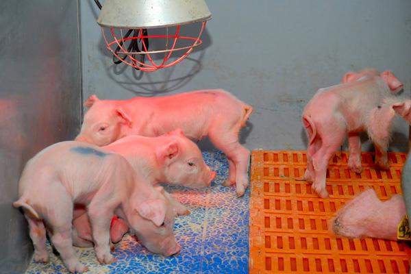 baby pigs dry